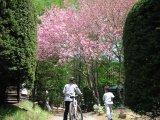 GWは八重桜キャンプ