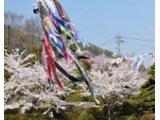 諏訪の桜開花予想が発表されました!!
