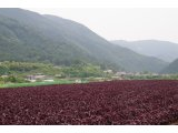★ 大原を紫色に染まります。♪