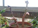 テンナンショウが咲き始めました