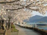 八木は良いとこ、堤の桜
