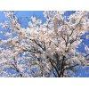 桜満開!桜のトンネルが見ごろです!