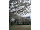 川口市の桜