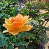 黄色い薔薇。