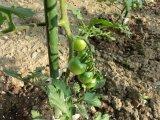 ミニトマトが成長中