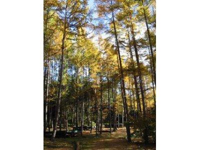 落葉松の葉がパラパラと