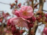 愛知の桜は、もうすぐ開花宣言!?