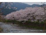 ★ 花冷えの中、満開の桜♪