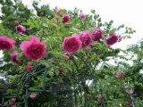 バラの花が見頃です。