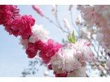 ★ 庭の源平桃、今年も赤白にぎやかに咲きました。