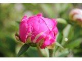 芍薬の開花その2