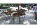 本日の営業と奈良の鹿