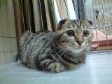 大人猫 (むぎ)