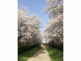 第88回幸手桜祭り