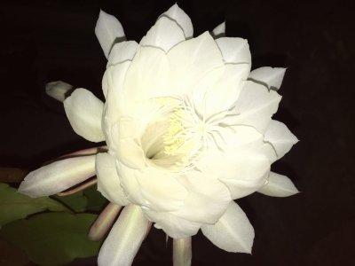 月下美人の花が咲きました☆