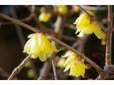 ★ 春の息吹感じる蝋梅♪