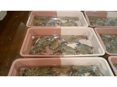 ワタリガニが、豊漁。