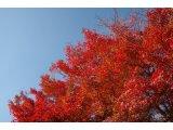 ★ 寒暖の差が激しく、紅葉いい色になってきました。