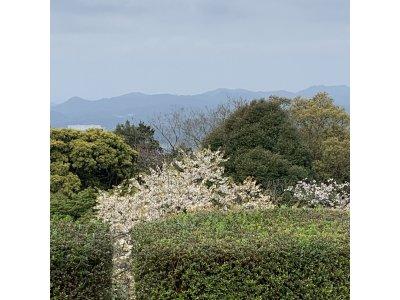 山桜とソメイヨシノ♪