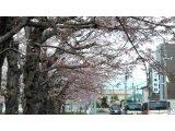桜ヨガにぜひー!