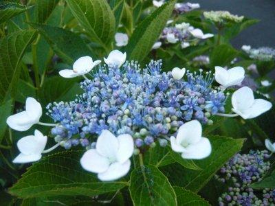 六月の花 紫陽花☆