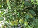 秋のプチトマト