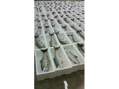 秋鮭が多く捕れるようになりました。