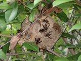 スズメバチ駆除 蜂の巣駆除 アシナガ蜂駆除