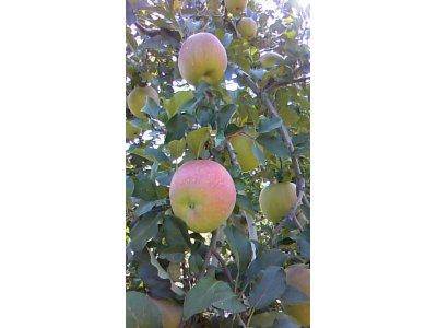 9月24日・25日 りんご(安曇野有機栽培)美味しいりんごを即売