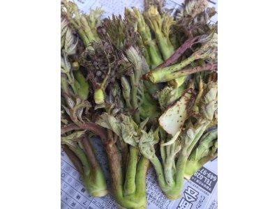 春の山菜が入荷しています。