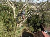 大木の枝落とし及び伐採