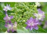 ★ やっとの雨で紫陽花も生き生きと♪